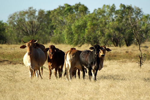 Kimberley cattle waiting nearby for water